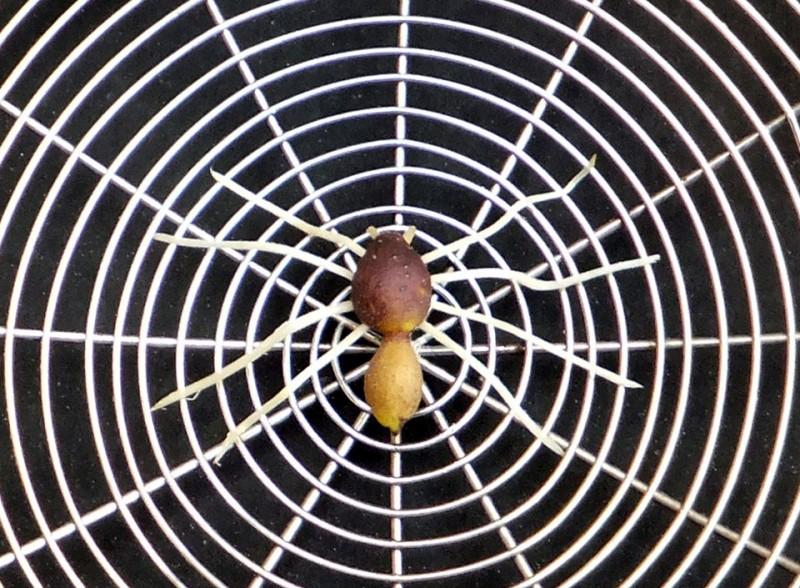 蔬菜蜘蛛1